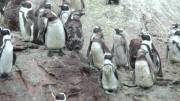 Mama, papa en baba penguins
