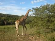 Giraffe eet van Acacia karoo